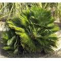 Palmier Chamaerops humilis vulcano