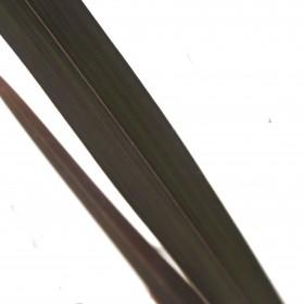 Phormium Platt's Black