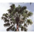 Palmier Livistona australis