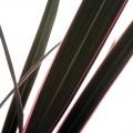 Phormium tenax pink stripe