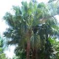 Palmier Livistona chinensis