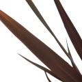 Phormium tenax purpurea