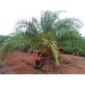 Palmier Phoenix acaulis