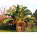 Palmier Phoenix porphyrocarpa