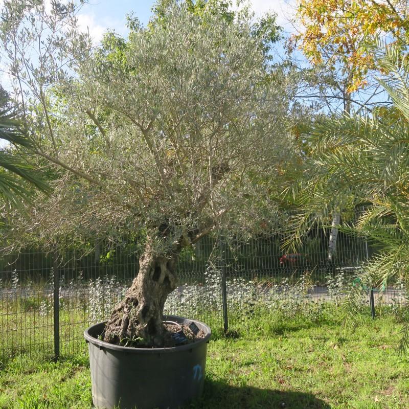 Olivier olea europea - circonférence : 110 / 120 cm