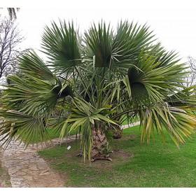 Palmier Sabal bermudana (umbraculifera)