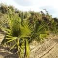 Palmier Sabal minor