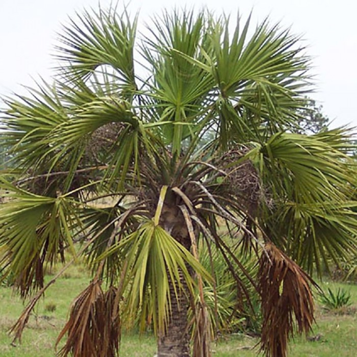 Palmier Sabal palmetto