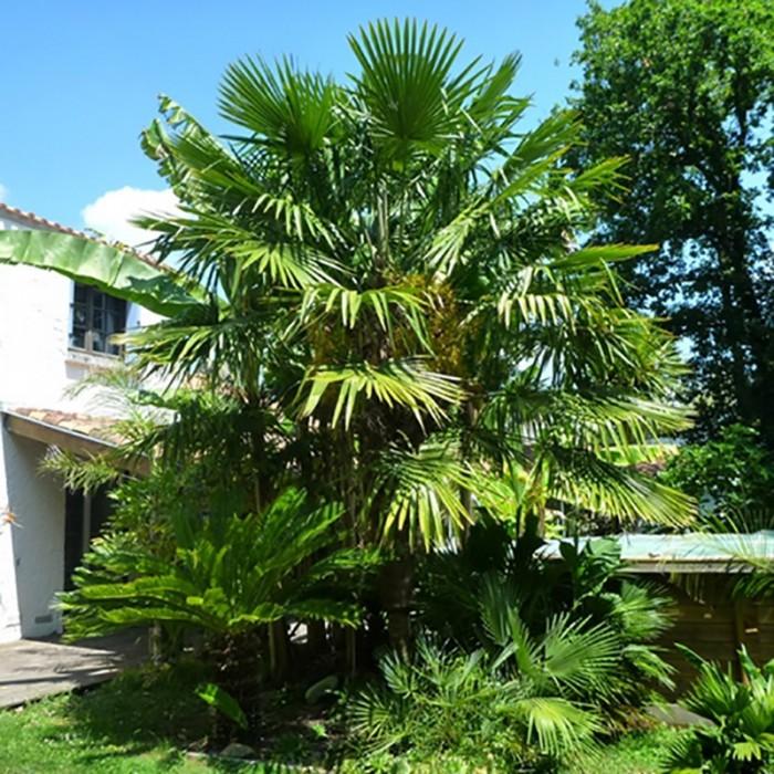 Palmier Trachycarpus fortunei
