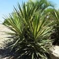 Yucca aloifolia variegata
