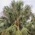 Palmier Sabal domingensis