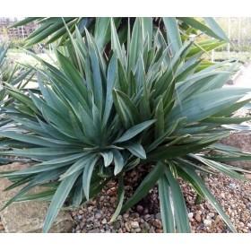"Yucca gloriosa ""lone star"""