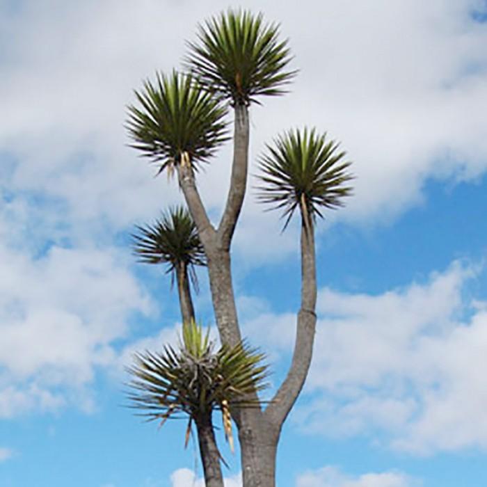 Yucca mixtecana