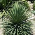 Yucca queretaroensis x yucca filifera