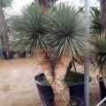 Yucca rostrata x yucca thompsonianaa