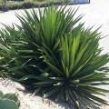 Yucca treculeana