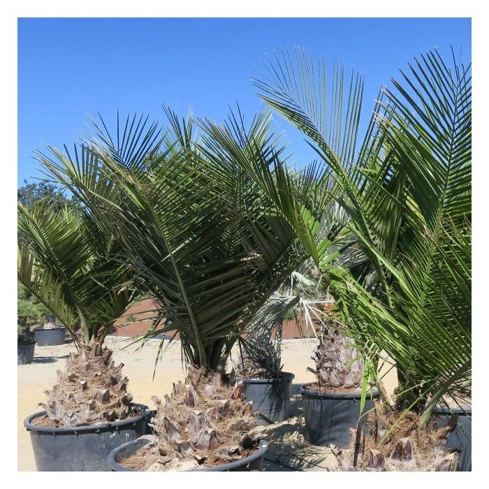 Palmier Jubaea chilensis