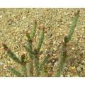 Cactus Cylindropuntia imbricata pinky