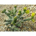 Cactus Cylindropuntia whipplei