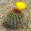 Cactus Echinopsis formosa (lobivia formosa)
