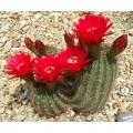 Cactus Echinopsis huascha (trichocereus grandiflorus)