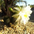 Cactus Echinopsis spachiana (trichocereus spachianus)