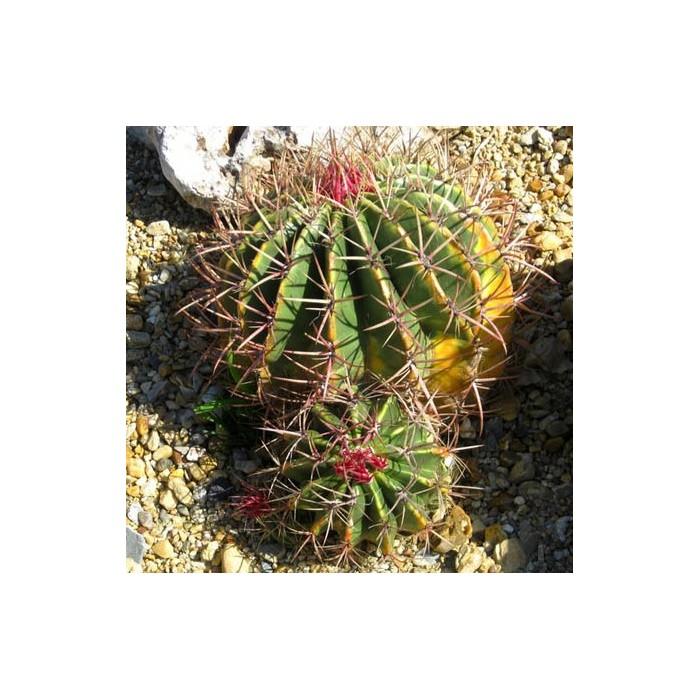 Cactus Ferocactus stainesii