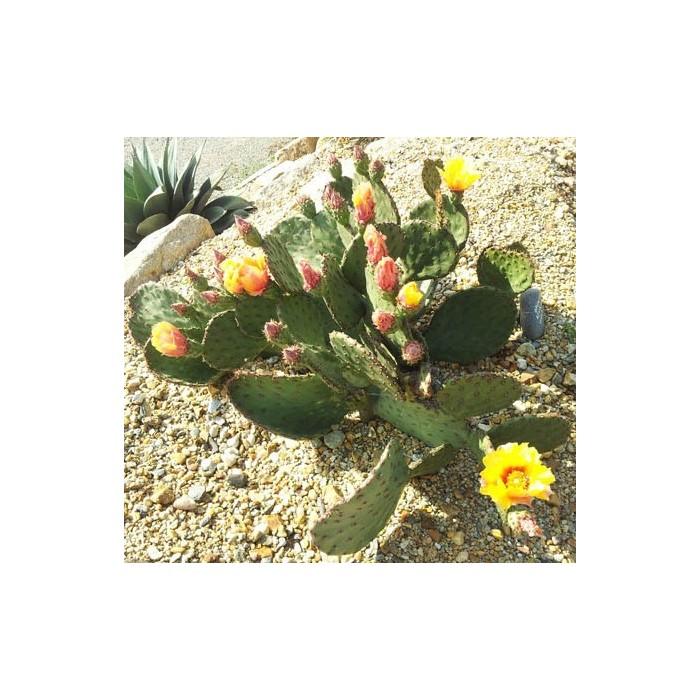 Cactus Opuntia azurea violacea