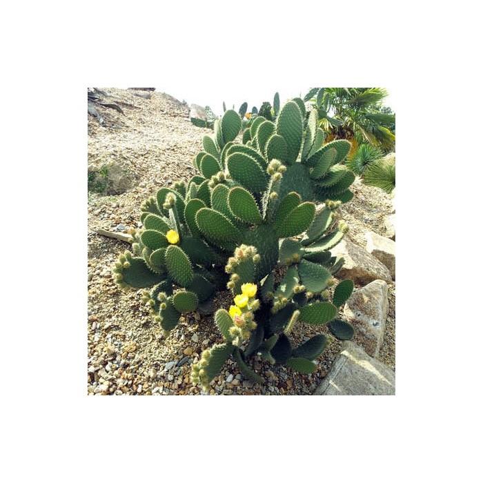 Cactus Opuntia huajuapensis