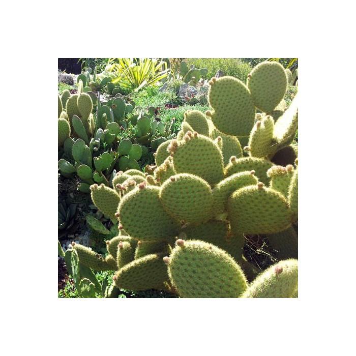 Cactus Opuntia scheeri
