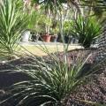 Hesperaloe parviflora