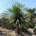 Nolina longifolia