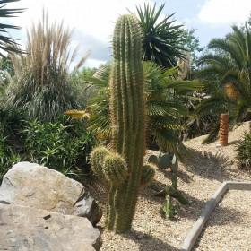 Cactus Echinopsis terscheckii