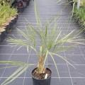 Butia capitata x jubaea chilensis F2