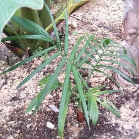 Palmier Chamaedorea radicalis caulescent