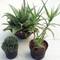 Trio Aloe