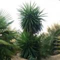 Yucca elephantipes sp giant