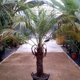 Palmier Phoenix roebelenii