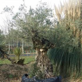 Olivier olea europea - Circonférence : 160 / 180 cm