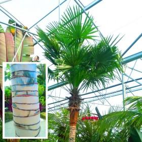 """Palmier trachycarpus fortunei """"Stipe nu"""""""