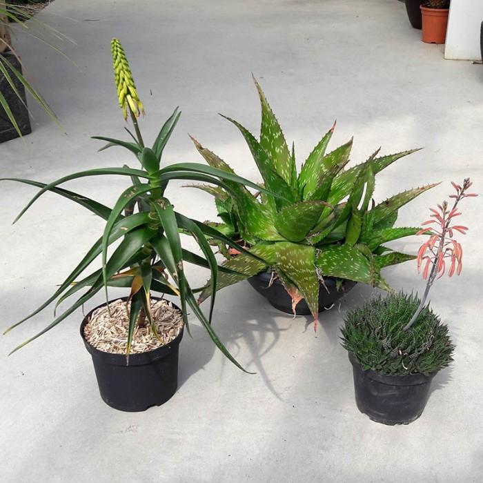 Pack 3 Aloe : Striatula, Saponaria et Aristata
