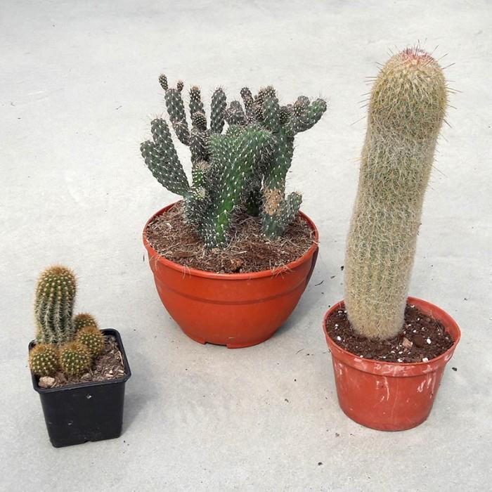 Pack 3 cactus