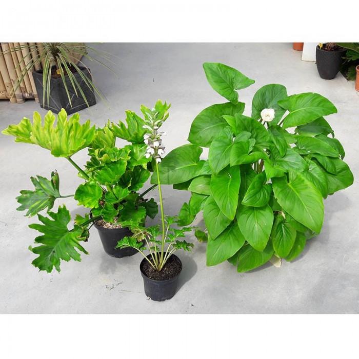 Pack 3 plantes : Acanthus, Philodendon et Arum blanc
