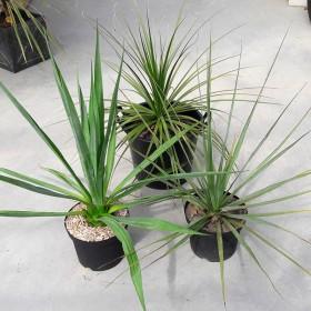Pack 3 plantes : 1 Furcraea et 2 Nolinas