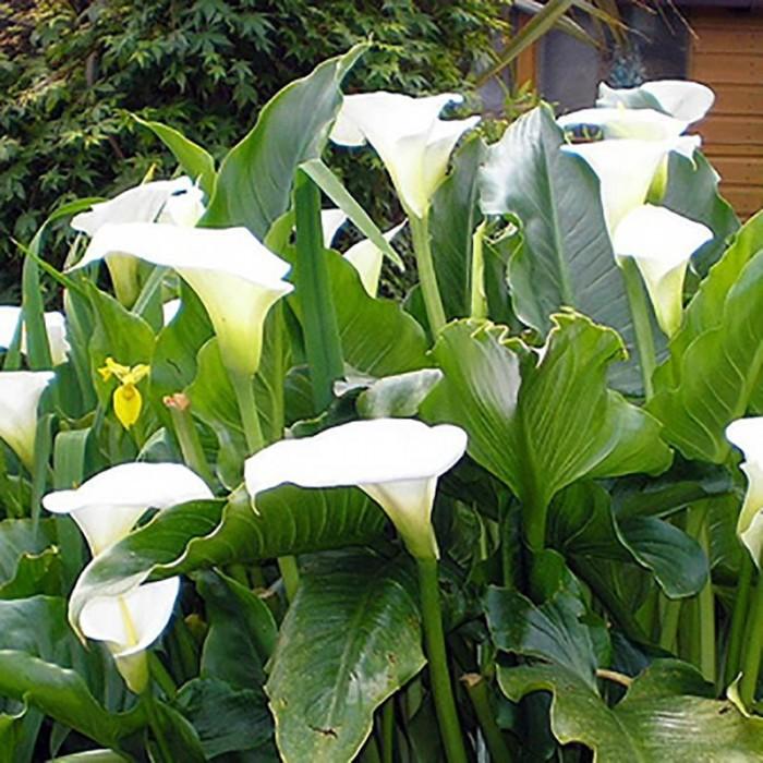 Arum blanc (Zantedeschia aethiopica)