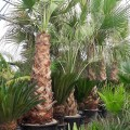 Palmier Washingtonia filifera