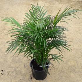 Palmier dypsis lutescens