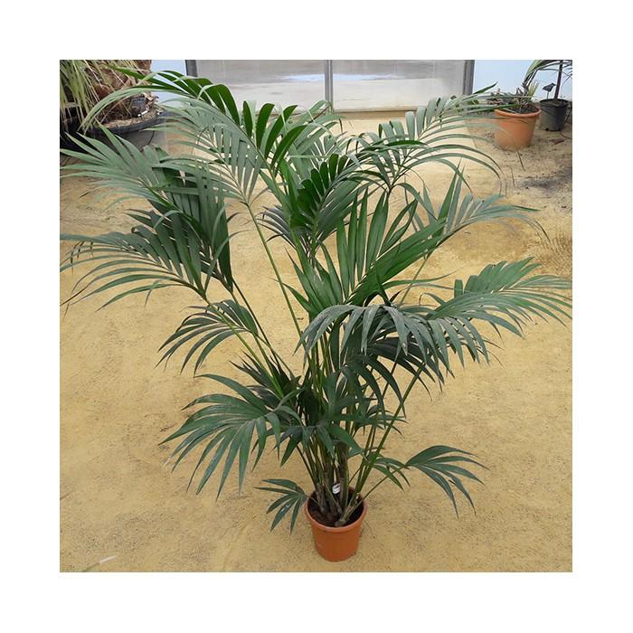 Palmier howea forsteriana (Kentia)