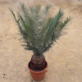 Cycas panzihuaensis