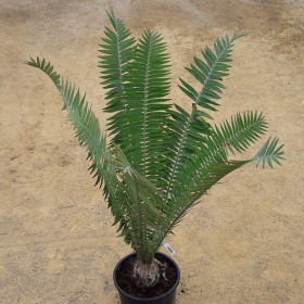 Dioon spinulosum